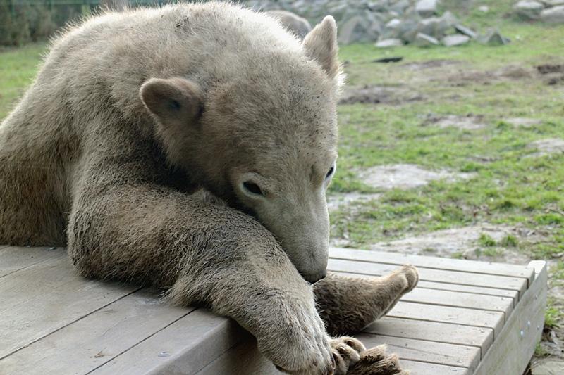 Noordje, de jonge ijsbeer