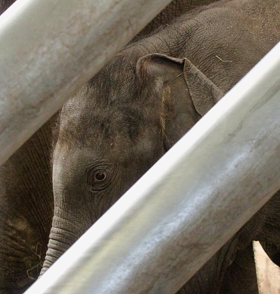 Thuya, de jongste olifant