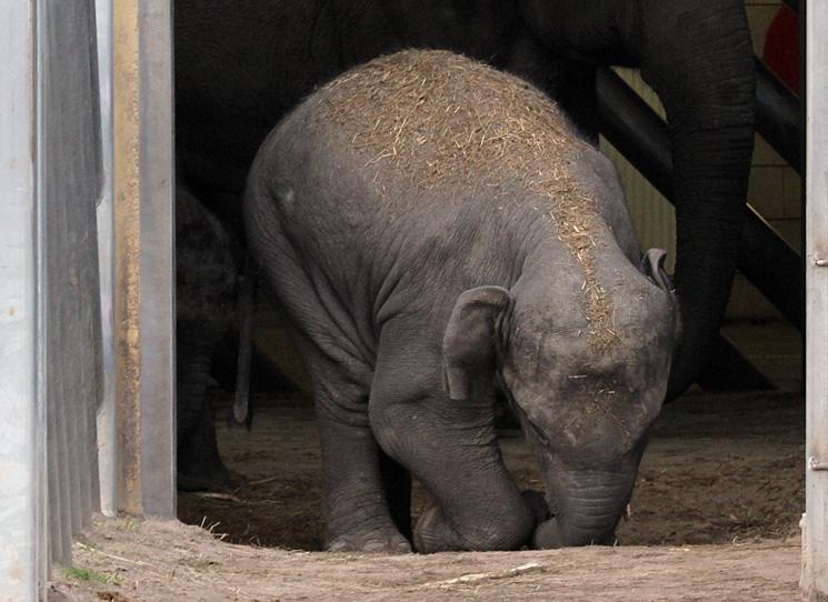 Mong Tine, de 2 jaar oude olifant