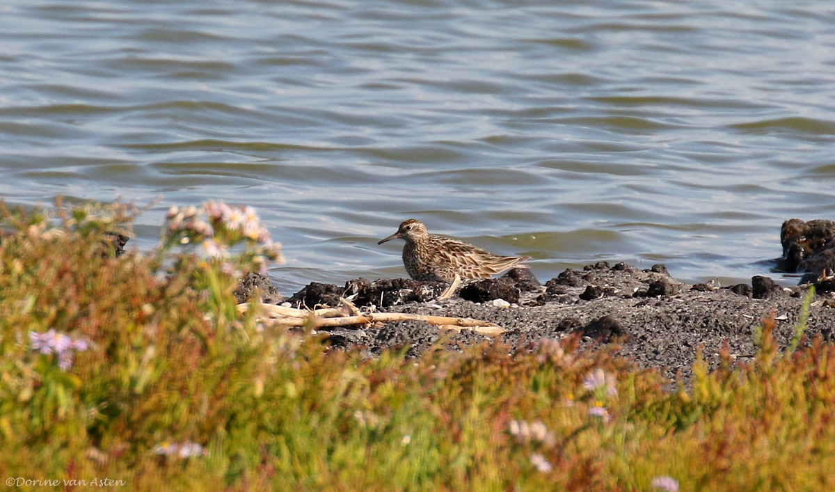 Siberische strandloper - De Putten