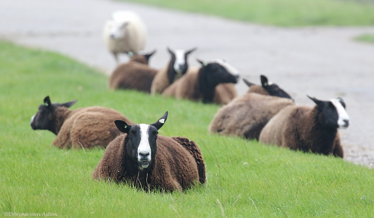 Luie schapen