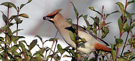 Pestvogels Dierenrijk dec 2012